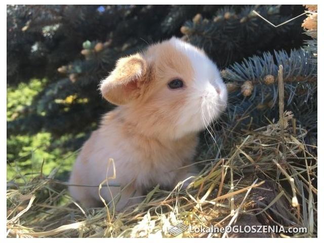 100 procentowe mini lop hermelin karzełek, jedyne takie w Polsce