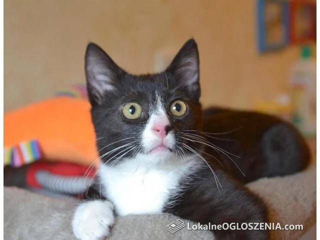 Imbir 3 miesięczny kot kangur :)