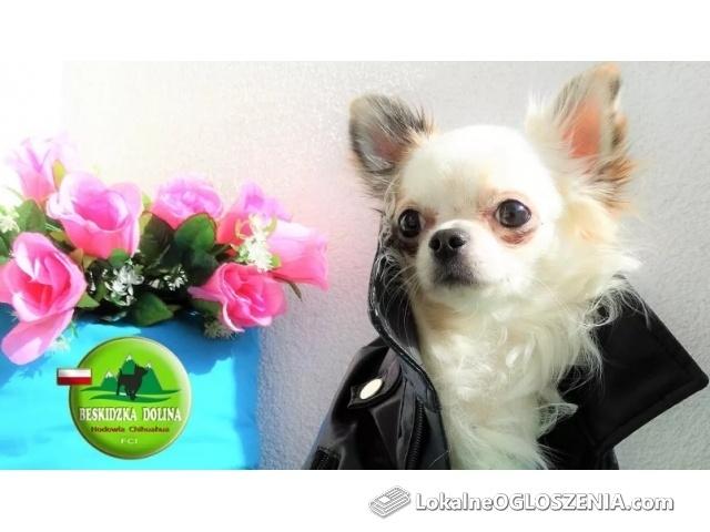 Chihuahua śliczny chłopczyk z rodowodem FCI ZKwP