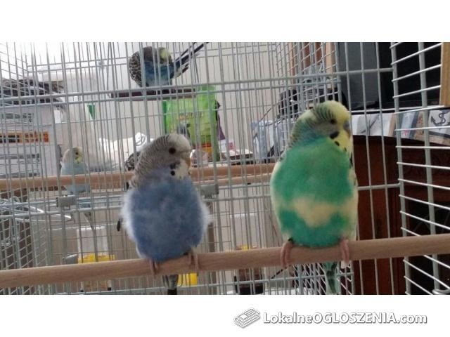 Zdrowa piękna papuga