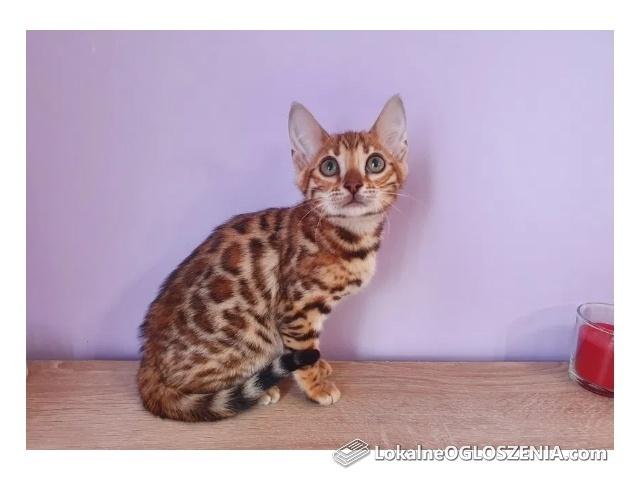 Cudowne kocięta bengalskie