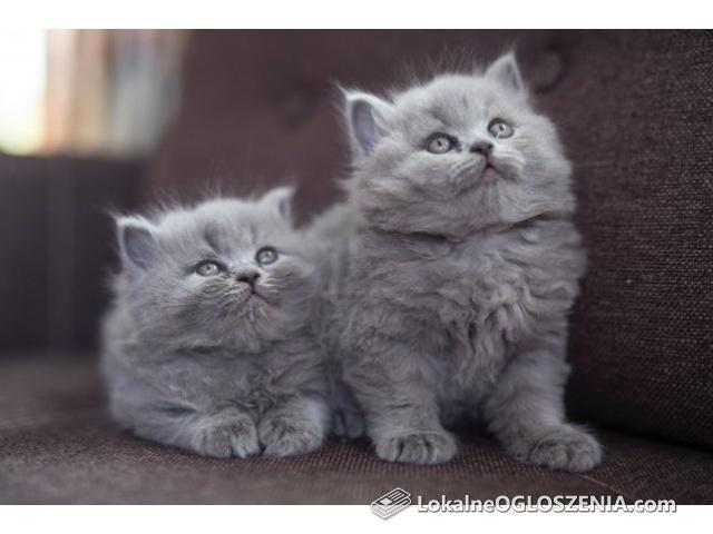 Kotki brytyjskie z rodowodem
