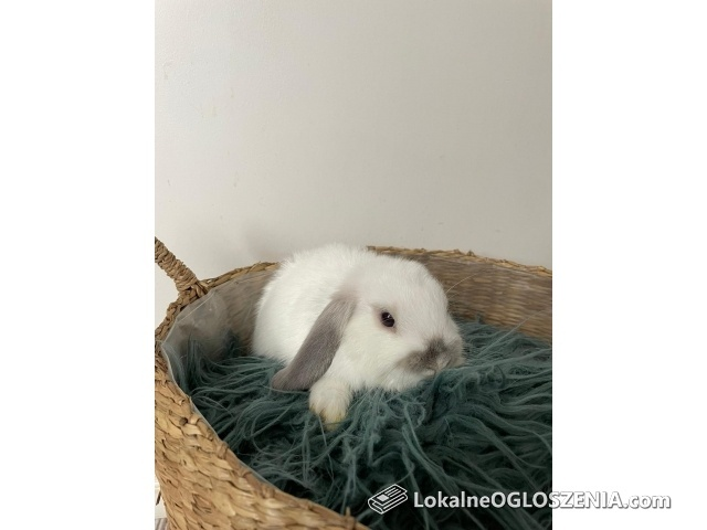 Pięknie króliczki Mini Lop