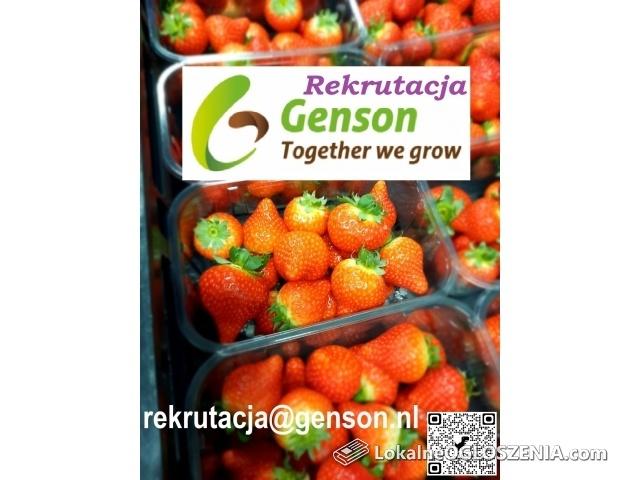 Praca w Holandii przy sadzonkach truskawek i truskawkach