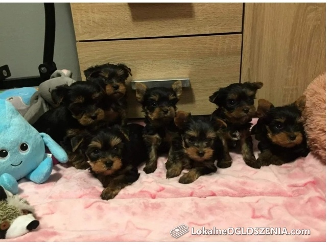 Yorkshire Terrier FCI
