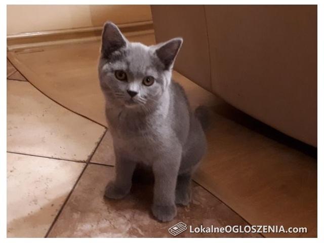Koty, kocięta brytyjskie krótkowłose